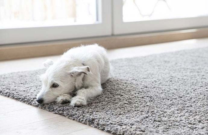 Pets and Carpeting